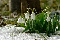 Sněženky patří k nejotužilejším raným kytičkám.