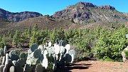 Gran Canaria. Kanárské borovice i kaktusy.