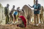 Veterináři odebrali vajíčka ohroženým nosorožcům, pomáhali i Češi