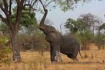 Slon v rezervaci Okavango Delta v jihoafrické Botswaně