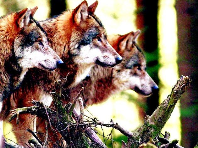 Přestože vlčích smeček v Německu přibývá, podobný pohled jako na tomto snímku z národního parku v Bavorsku se ve volné přírodě naskytne jen málokomu.
