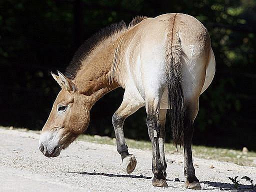 Kůň Převalského. Ilustrační foto