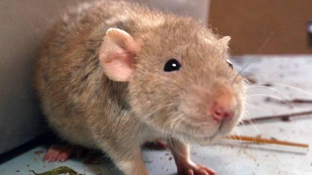 Tým vědců z Fyziologického ústavu Akademie věd ČR, Německa a Švýcarska vyvinul geneticky modifikovaného potkana, na němž se schizofrenie studuje. Ilustrační foto.