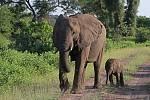 V Botswaně žije největší populace slonů na světě, čítající 130 tisíc kusů