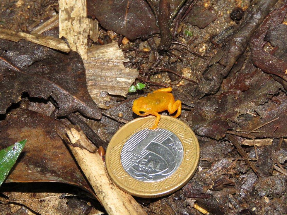 Ropušenka drobná (Brachycephalus ephippium)