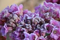 Ranní námraza na jarních květech. Ilustrační foto