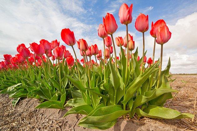 Květinou měsíce je tulipán