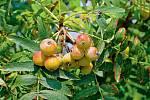 Zplodů oskeruše lze vyrobit marmeládu, ovocnou pastu, velmi dobré jsou vkompotu, používají se ido ovocných šťáv avín. Nejčastěji se ale používají kvýrobě likérů či velmi kvalitnípálenky.