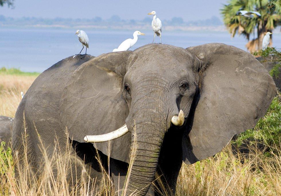 Symbióza. Slon se zbaví nepříjemných parazitů a ptáci se nasytí.