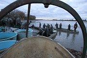 Až sedmnáct set metráků ryb,převážně kaprů, ale i candátů a štik, amurů a bílé ryby vylovili třeboňští rybáři z  rybníka Bošilec.