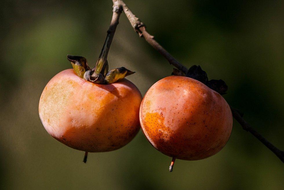 Ovoce zvané kaki