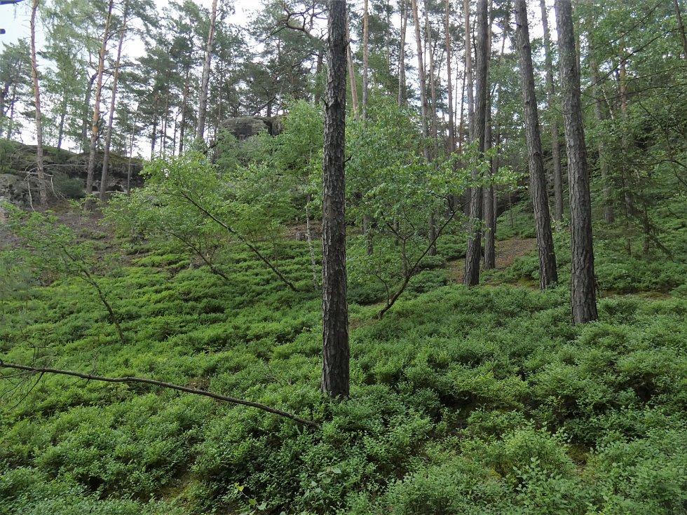 Borovice, skály a borůvčí. Typický terén na Kokořínsku.