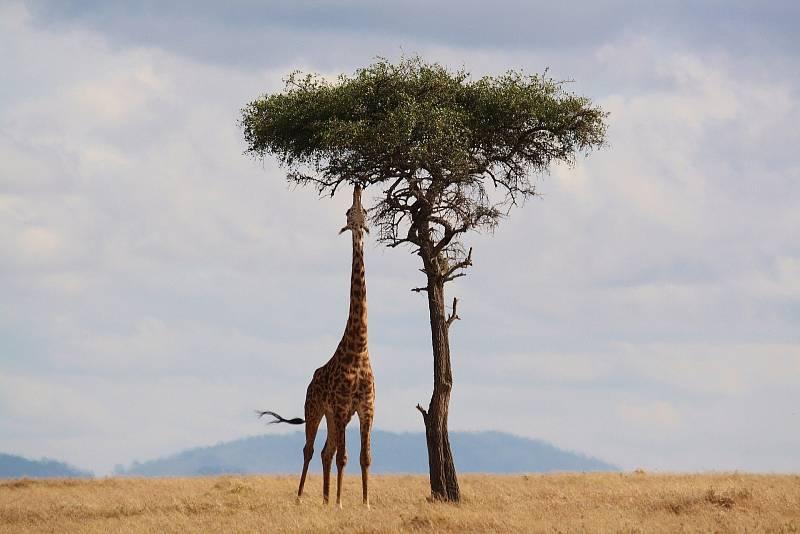 Žirafy to nemají vživotě vůbec jednoduché. Jejich výška jim totiž může být mnohdy na obtíž.