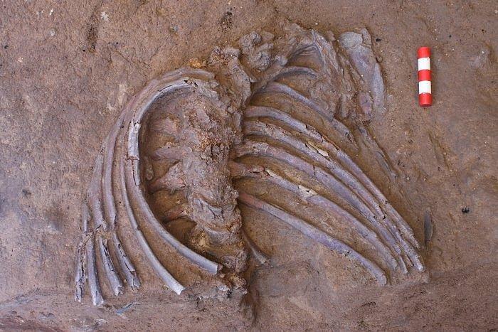 Žebra a páteř z kostry neandertálce nalezené v jeskyni Šánidar. Jeskyně je proslulá nálezy artefaktů neandertálské kultury