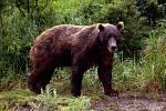 Kamčatka je proslulá bohatou divokou faunou, žije tam i medvěd hnědý