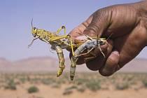 Žravé kobylky jsou pohromou pro zemědělce