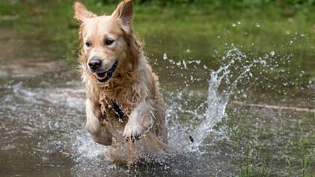 Vodní psi. Zlatí retrívři patří mezi psí plemena, která nadevše milují vodu.