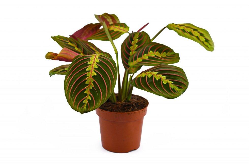 Maranta se těší oblibě především pro krásně zbarvené listy, které reagují na světlo.