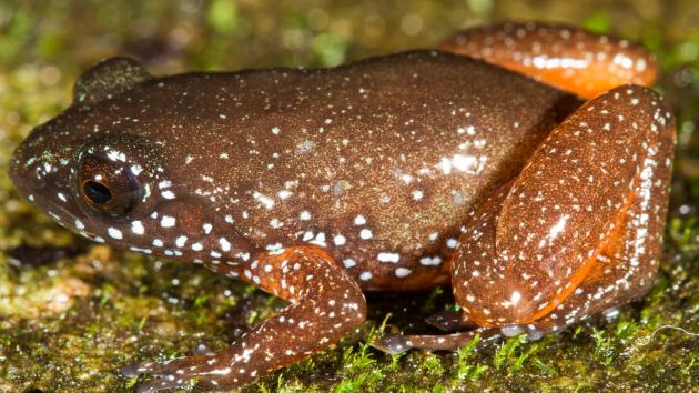 Astrobatrachus kurichiyana - hvězdnatá trpasličí žába z indického pohoří Západní Ghát