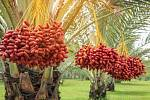 Datlová palma. Ilustrační snímek