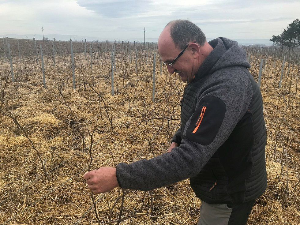 Vinař Oldřich Palička připravuje vinici na novou úrodu.