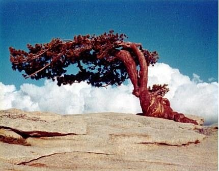 Fotka, která proslavila borovici Jeffreyovu. Strom stál na vrcholku útvaru Sentinel Dome. K zemi strom padl v roce 2003.