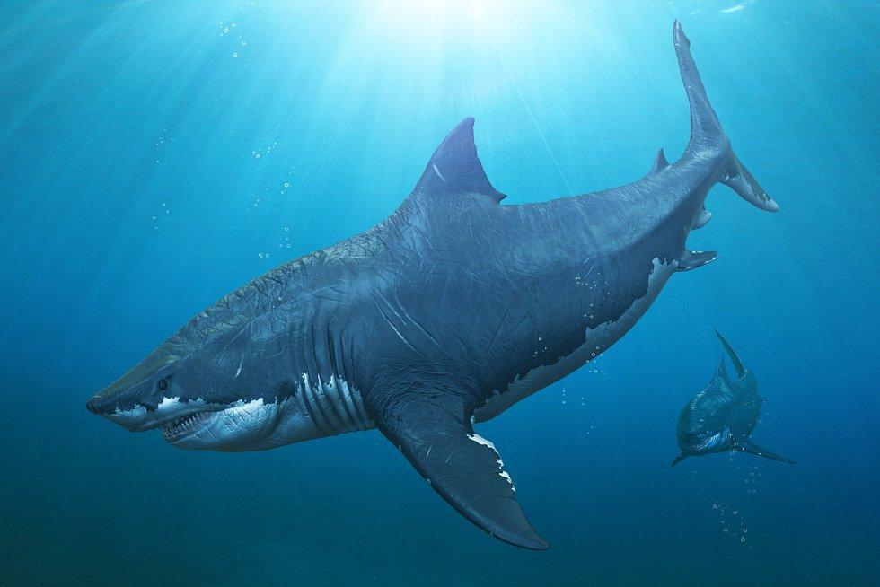 Dva žraloci Otodus megalodon na lovu