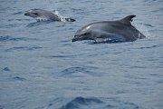 Delfíni v Egejském moři, ilustrační foto