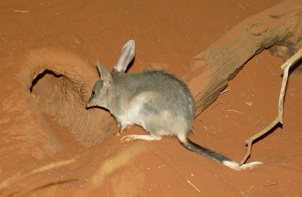 Bandikut patří mezi přirozené predátory štírů.