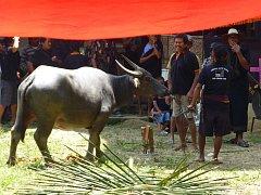 Obětování vodního buvola je vrcholem torajského pohřbu. Buvol má přitom pro obyvatele Sulawesi obrovskou cenu, jelikož jim pomáhá s obděláváním rýžových polí. Za buvola tak zaplatíte stejně jako za auto. Proto musí Torajové na svůj pohřeb šetřit celý živo