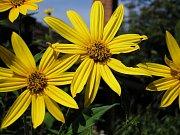 květ topinambury