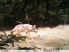 Snímek z fotopasti pořízený 29. března v národní přírodní rezervaci nedaleko Doks na Českolipsku potvrdil, že se do Čech po více než sto letech vrací vlci.