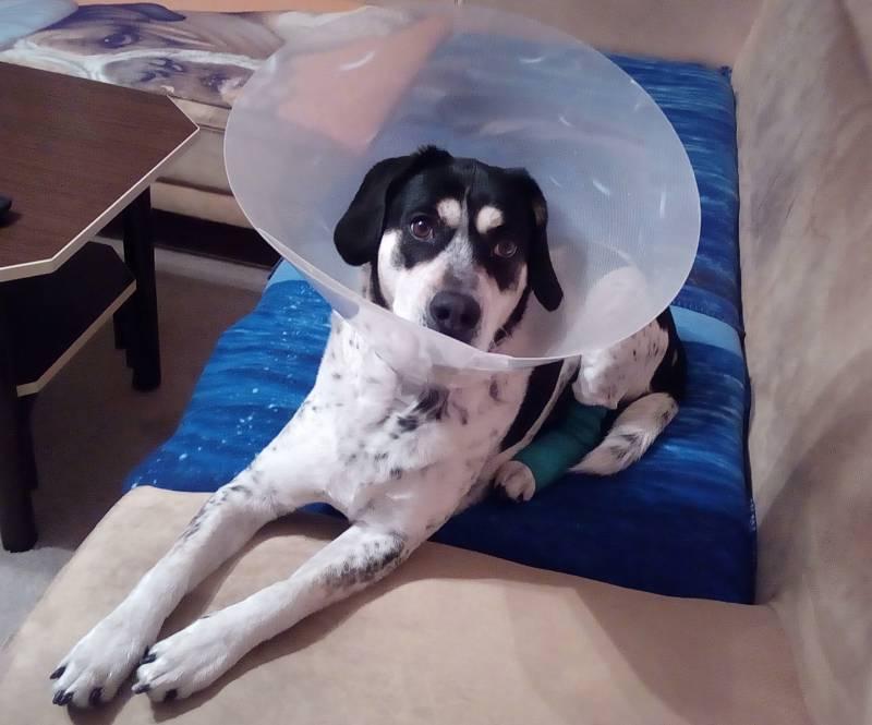 Fanda po operaci zadní nožičky.