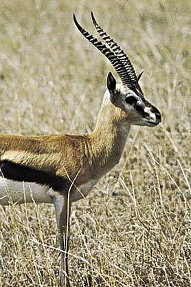 Radost ze stěhování gazel (na ilustračním snímku je ale gazela Thomsonova) mají jak pracovníci rezervace, tak ruští ekologové.