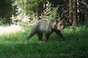Medvědice Ema zachycená fotopastí v okolí Smrku koncem června 2019