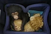 Mládě šimpanze.