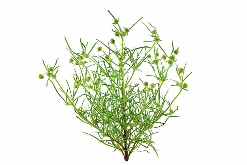 Psyllium – neboli jitrocel indický, pomáhá čistit střeva, zabírá při zácpě, odvádí toxiny z těla ven.