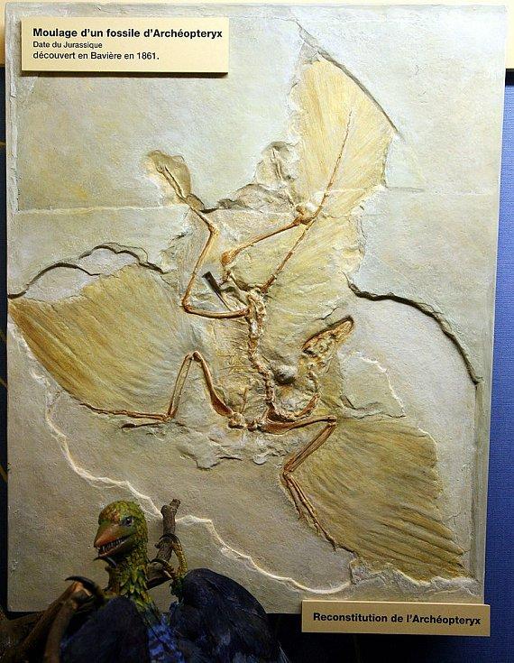 Zkamenělý otisk archeopteryxe spolu s jeho modelem v ženevském Muzeu přírodní historie