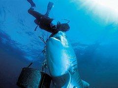 Až sto samic tygřího žraloka – druhého největšího predátora planety – připlouvá na moře u vesničky Umkomaas poblíž Durbanu.