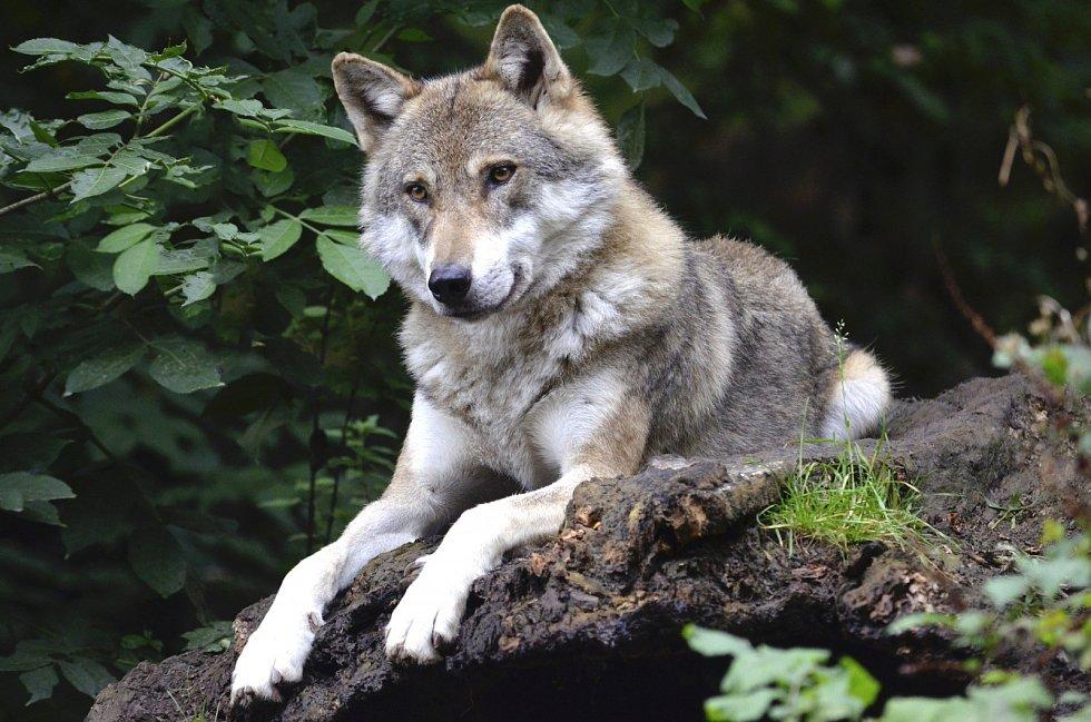 Vlci se nestřílejí jen z Trumpova rozmaru, podobně se s nimi zacházelo i v dobách Baracka Obamy, kdy byli rovněž na pár let ze seznamu chráněných zvířat vyškrtnuti.