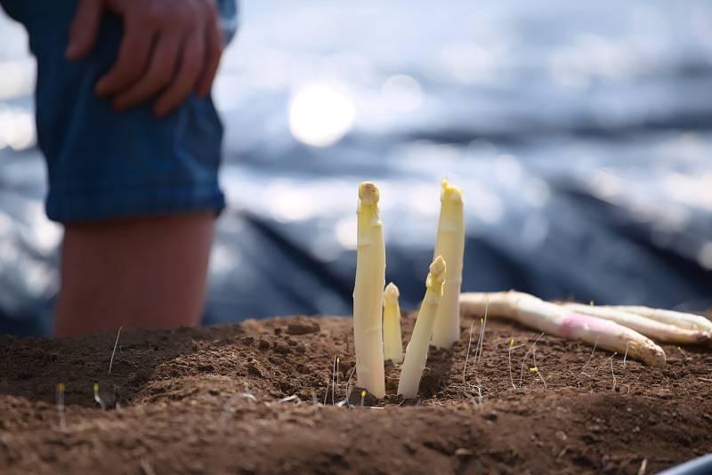 Chřest dokáže během dne vyrůst i o osm centimetrů.