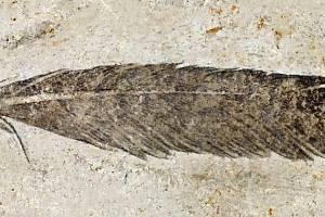 Nejstarší známá fosilie opeření z doby dinosaurů. Podle nové studie se tímto peřím pyšnil archeopteryx
