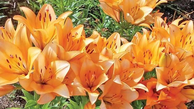 Lilie (Lilium) je rod, jenž zahrnuje více než devadesát druhů.