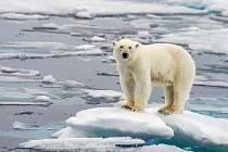 Oteplování ohrožuje kupříkladu lední medvědy, kterým taje zem doslova pod nohama.