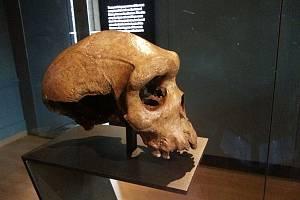 """Tři sta tisíc let stará lebka, uložená v Muzeu přírodních dějin v Londýně, byla dříve považována za lebku člověka heidelberského. Je zde však možnost, že patřila neznámému africkému druhu, označovanému jako """"duch"""""""