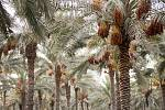 Datlové palmy. Ilustrační snímek