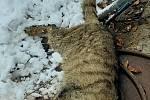 Kadáver kočky divoké, nalezené na Dobříšsku
