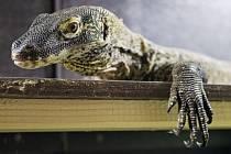Do Prahy 12. července přicestoval ze zoologické zahrady v Los Angeles necelý rok starý varan komodský Rakastan (na snímku). Pražská zoo s ním počítá jako s partnerem dcery populární Aranky Ranchy. Prvních potomků by se mohli dočkat za tři roky.