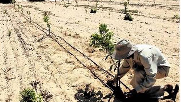 PÍSEK BUDE RODIT. Zemědělský dělník sází česnek na poli v pěstitelském středisku na sever od hlavního egyptského města Káhiry. Před zavlažením byla na tomto místě pouze neúrodná poušť.