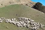 Nové roboty zastanou i práci pasteveckých psů hlídajících ovčí stáda